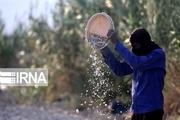 پیازکاران جنوب کرمان در انتظار تدبیر دوباره دولت
