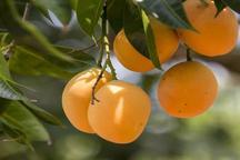 پنجمین جشنواره انبه و یاسمین گل میناب آغاز به کار کرد