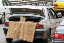 میل به قانون شکنی در رانندگان زیاد است