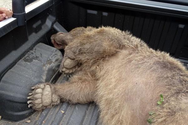 کشتهشدن خرس قهوهای ۹ ساله با شلیک ۷ گلوله در تالش