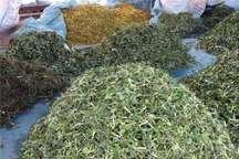 خراسان شمالی گنجینه گیاهان دارویی ، سرمایه ای که مغفول مانده است