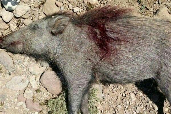 دستگیری شکارچی گراز در منطقه الموت