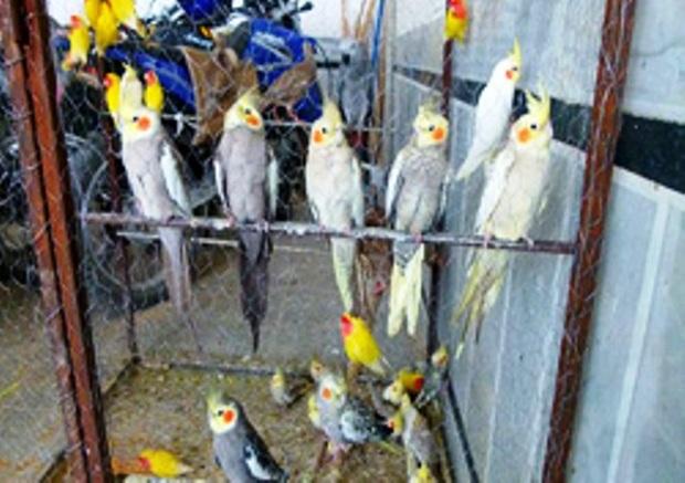 کشف 50 قطعه پرنده تزئینی قاچاق در ارومیه
