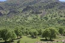 آفت های مهار نشده تیشه به ریشه جنگل های زاگرس زده اند