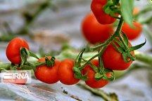 افزایش قیمت گوجه فرنگی ارتباطی به سهیمهبندی بنزین ندارد