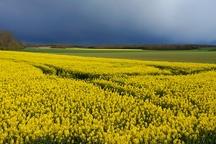 3600 هکتار از اراضی کشاورزی خراسان شمالی زیر کشت کلزا پاییزه رفت