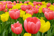 دومین جشنواره گل های لاله در اراک گشایش یافت