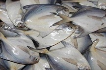 صید ماهی «حلوا سفید» در استانهای خوزستان و بوشهر ممنوع شد