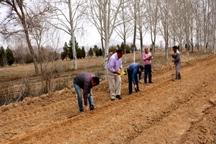 زراعت چوب در جنوب کرمان توسعه می یابد