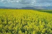 افزایش 80 درصدی تولید کُلزا در استان اصفهان