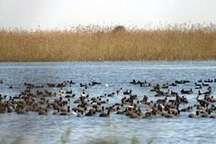 آغاز کوچ پرندگان مهاجر به شمال خوزستان