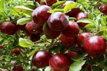 نیمی از سیب مصرفی  شب عید کشور توسط آذربایجان غربی تامین می شود