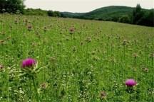 پنج هزار هکتار از منابع طبیعی کرمانشاه زیرکشت گیاهان دارویی می رود