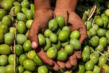 راهاندازی بازارچه زیتون در زنجان