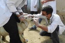 بیش از 55 هزار راس دام پیرانشهری علیه تب مالت واکسینه شدند