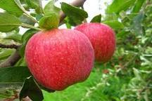 ذخیره سازی 650هزار تن سیب تولیدی آذربایجان غربی در سردخانه ها