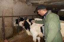 واکسیناسیون دام ها علیه تب برفکی در مازندران آغاز شد