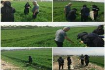 مبارزه با سن غلات در 2680 هکتار مزارع البرز اجرا شد