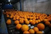 پرتقالهای شرق مازندران بدون رنگ افزایی وارد بازار کشور شد