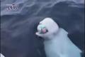 توپ بازی با نهنگ سفید وسط دریا