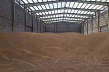 گندم های ناخالص از کشاورزان خریداری نمی شود