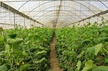 کشت گلخانه ای راهبردی موثر برای توسعه کشاورزی قم