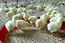 جوجهریزی ۱۴.۵ میلیون قطعه در مرغداریهای کردستان