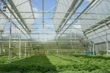 تولید نشاء در 20 هکتار گلخانه بوشهر آغاز شد
