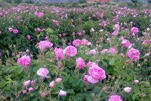 65 تن گل محمدی در خوشاب برداشت شد