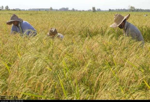 تولید افزون بر 60 هزار و یکصد تن برنج سفید در آستانه اشرفیه