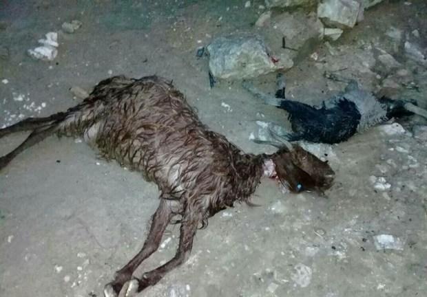 63 راس دام در روستای اصغر آباد اشترینان بر اثر سیلاب تلف شد