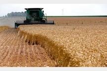 آغاز برداشت گندم از مزارع آبیک  تعیین 4 مرکز خرید در شهرستان