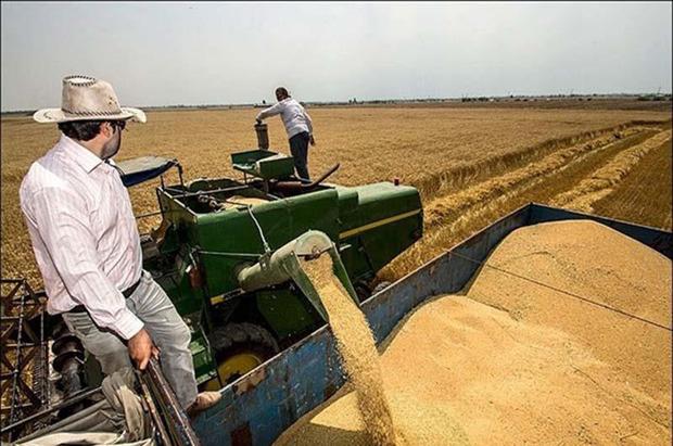 پیش بینی تولید گندم در ساوه 80 هزار تن است