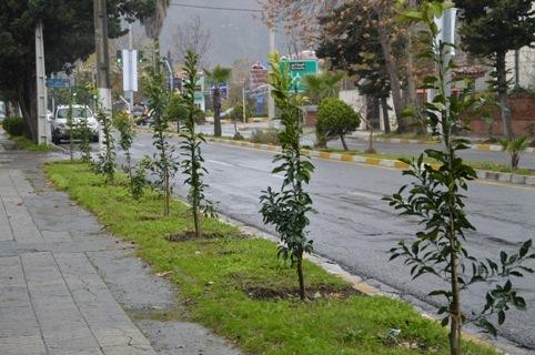 بیش از 60 هزار اصله نهال در سطح شهر کرمانشاه غرس می شود