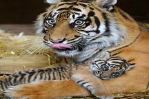 7 توله ببر در باغ وحش مشهد تلف شدند  اتفاق نادری نیست