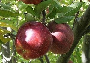 پیش بینی تولید بیش از 700 هزار تن سیب در آذربایجان غربی