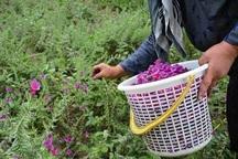 کشت گیاهان دارویی نیازمند بازاریابی است