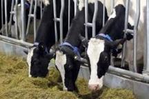 تولید روزانه 70 تن شیر در قائم شهر 63 تن سبوس بین دامداران قائم شهری توزیع شد