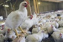 تولید 3.8 میلیون قطعه مرغ در چهارمحال و بختیاری
