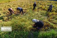 بیش از ۱۴ هزار تن برنج از شالیزارهای شادگان برداشت شد