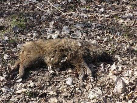 مرگ دسته جمعی گرازها در جنگل های پره سر رضوانشهر