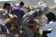 30 هزار دام در ایرانشهر واکسینه شدند