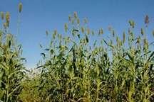 اختصاص 15 هکتار از زمین های کشاورزی خرمدره به کشت سورگوم