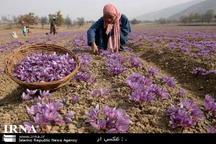 برداشت 14 تن زعفران در خواف