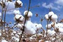 مدیر مربوطه در وزارت جهاد کشاورزی: پنبه جزو محصولات اقتصاد مقاومتی است