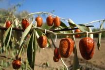جهاد کشاورزی ازتوسعه کشت سنجد در آذربایجان غربی حمایت می کند