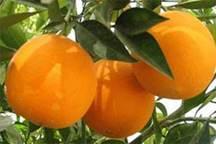 مدیر تعاون روستایی گلستان: وقفه در خرید پرتقال موقتی است