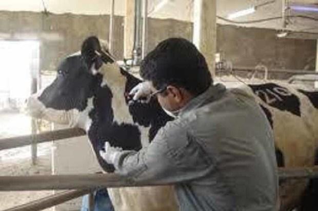 جمعیت دامی آذربایجان غربی علیه بیماری تب مالت ایمن شد