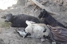 تلاش دامپزشکی برای مدیریت لاشه احشام تلف شده در مناطق زلزلهزده