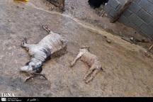 60 راس گوسفند بر اثر سیل در روداب سبزوار تلف شدند